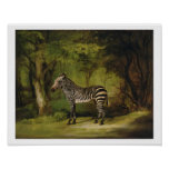 A Zebra, 1763 (oil on canvas) Posters