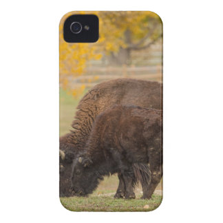 AAutumn Buffaloes Cow and Calf Case-Mate iPhone 4 Cases