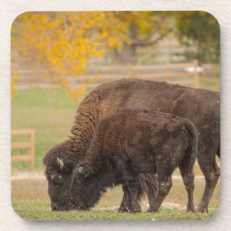 AAutumn Buffaloes Cow and Calf Coaster
