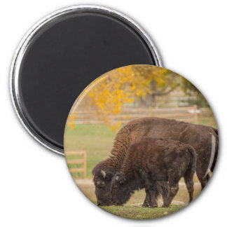 AAutumn Buffaloes Cow and Calf Magnet