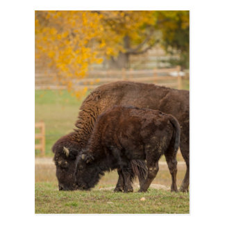 AAutumn Buffaloes Cow and Calf Postcard