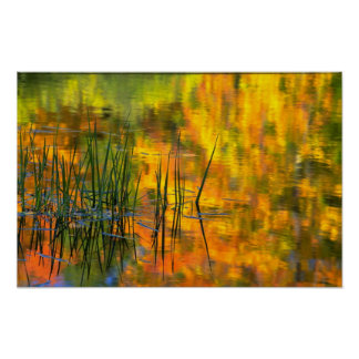 Abstract Reeds and reflection of autumn foliage Poster
