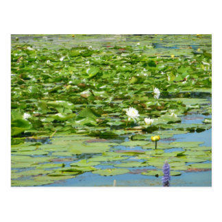 Abundance Aquatic Flowering Plants Postcard