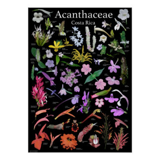 Acanthaceae of Costa Rica Poster
