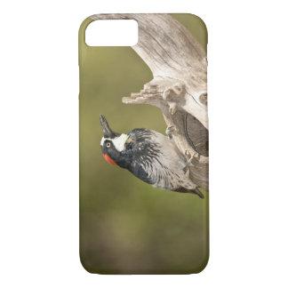Acorn Woodpecker, Melanerpes formicivorus, South iPhone 7 Case