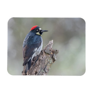 Acorn Woodpecker Small Magnet