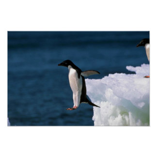 Adelie Penguins Leaping From An Iceberg Poster