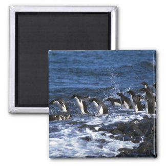 Adelie Penguins Square Magnet