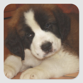 Adorable and Sweet St. Bernard Puppy Square Sticker