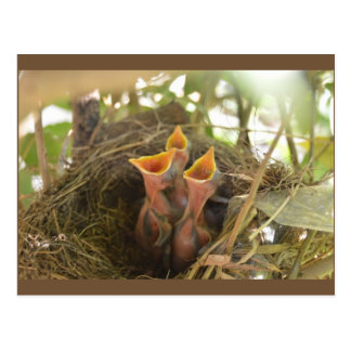 Adorable Baby Birds Waiting for Food Post Card
