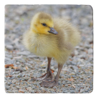 Adorable Baby Canada Goose on the Gravel Trivet