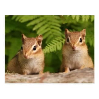 Adorable Baby Chipmunk Siblings Postcard