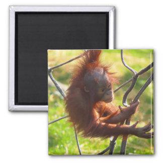 Adorable baby orangutan magnet