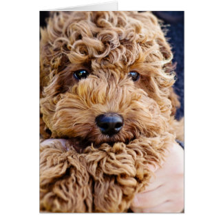 Adorable cockerpoo greeting card