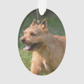 Adorable Glen of Imaal Terrier