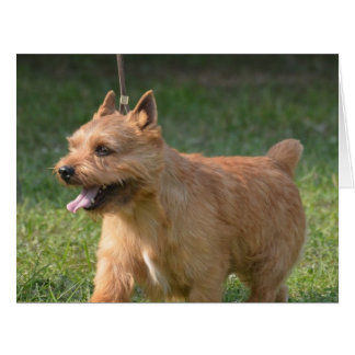 Adorable Glen of Imaal Terrier Big Greeting Card