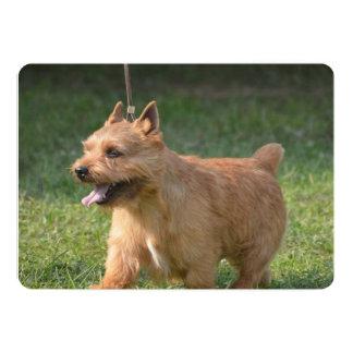 Adorable Glen of Imaal Terrier Announcement