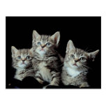 Adorable Kittens Post Cards