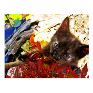 Adorable mewing tortie kitten in Japanese maple Postcard