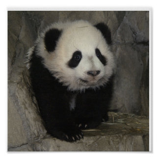 Adorable panda poster. poster