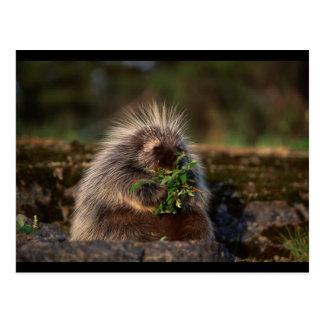 Adorable Porcupine Postcard