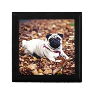 Adorable Pug Rests On The Autumn Foliage Gift Box