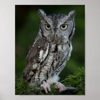 Adorable Screech Owl poster