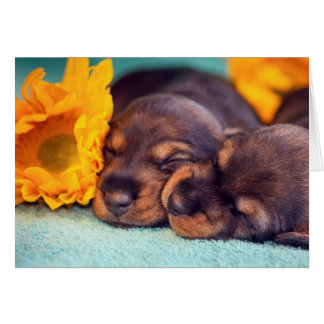 Adorable sleeping Doxen puppies Card