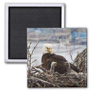 Adult Bald Eagle with eaglets Square Magnet