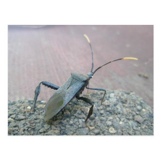 Adult Black Leaf-Footed Bug Items Postcard