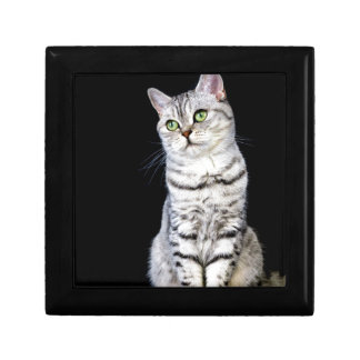 Adult british short hair cat on black background gift box