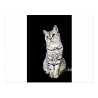 Adult british short hair cat on black background postcard