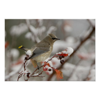 Adult Cedar Waxwing on hawthorn with snow, 2 Print