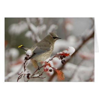 Adult Cedar Waxwing on hawthorn with snow, 3 Card