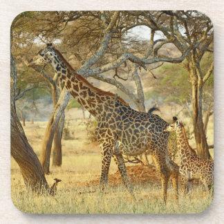 Adult female and juvenile Giraffe, Giraffa Coaster
