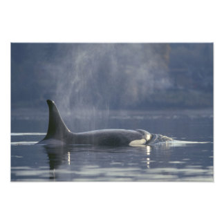 Adult female Orca Whale Orcinus Orca), Puget Photo Art