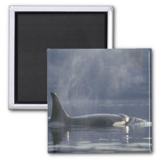 Adult female Orca Whale Orcinus Orca), Puget Square Magnet