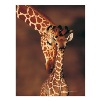 Adult Giraffe with calf (Giraffa camelopardalis) Postcard