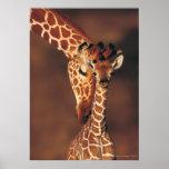 Adult Giraffe with calf (Giraffa camelopardalis) Posters