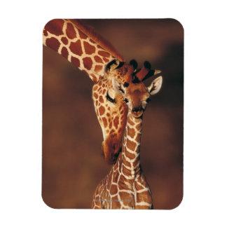 Adult Giraffe with calf (Giraffa camelopardalis) Rectangular Photo Magnet