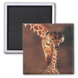 Adult Giraffe with calf (Giraffa camelopardalis) Square Magnet