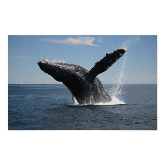 Adult Humpback Whale Breaching Poster