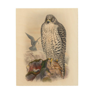 Adult Iceland Falcon Gould Birds of Great Britain Wood Print