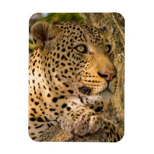 Adult Leopard (Panthera Pardus) Rests Magnets