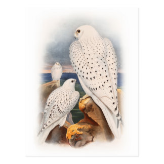 Adult Light Greenland Falcon Birds Great Britain Postcard