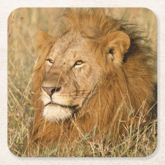 Adult male Lion at first light Square Paper Coaster