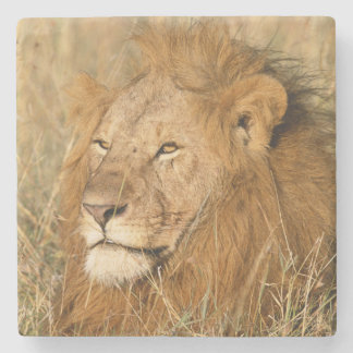 Adult male Lion at first light Stone Coaster
