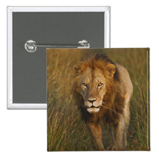 Adult male lion walking through tire tracks pinback buttons
