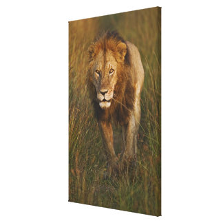 Adult male lion walking through tire tracks, gallery wrapped canvas