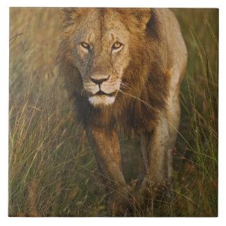 Adult male lion walking through tire tracks, large square tile